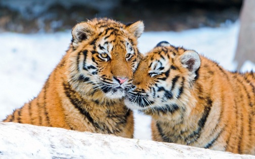 Two tigers are better than one.